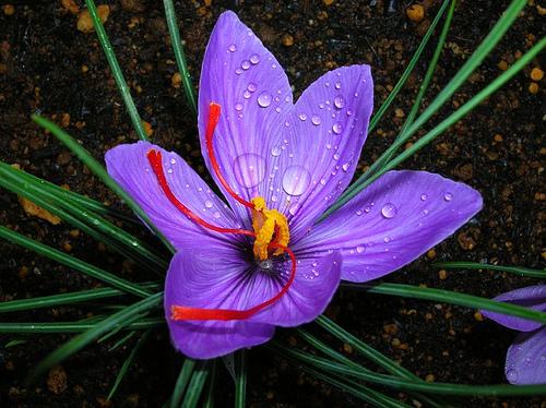 Saffron, elixir of longevity – Σαφράν, ελιξίριο μακροζωίας